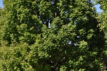drvo za hlad