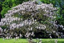 paulovnija u cvatu