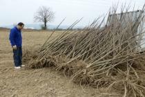 korijeni paulovnije - mirtalis (4)