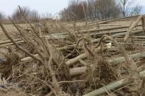 korijeni paulovnije - mirtalis (7)