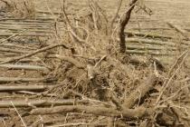 korijen paulovnije mirtalis