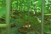 paulovnija drvo (9)