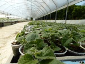 sadnice paulovnije mirtalis (5)