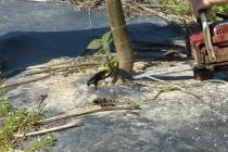 Čepiranje paulovnije motornom pilom