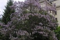 paulovnija drvo za dvoriste