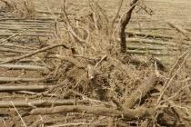 korijeni paulovnije - mirtalis (10)