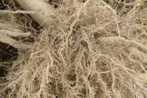 korijeni paulovnije - mirtalis (5)
