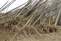 korijeni paulovnije - mirtalis (9)