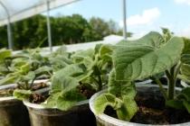 sadnice paulovnije mirtalis (4)