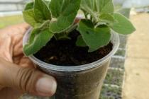 sadnice paulovnije mirtalis (8)