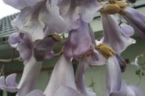 paulovnija cvijet