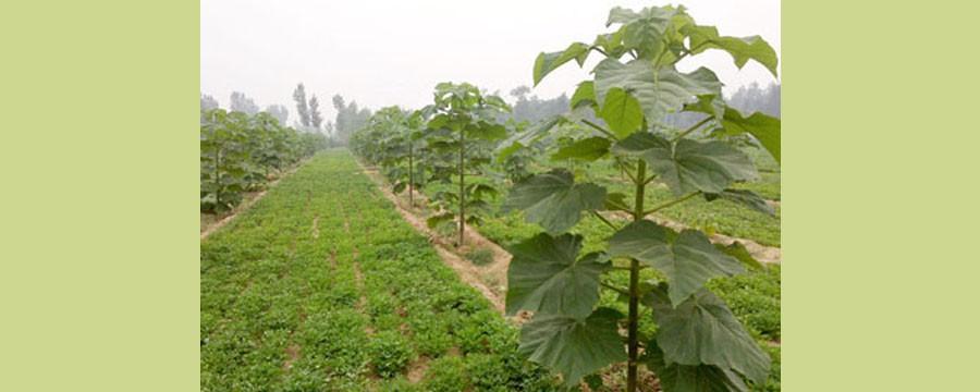 plantaža paulovnije
