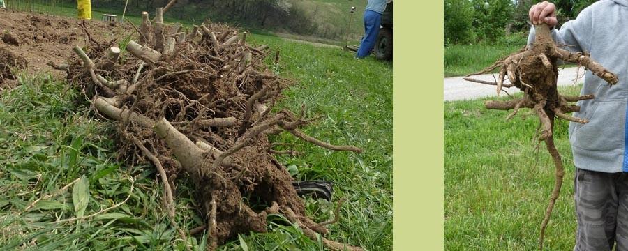 korijen paulovnije, palovnija korijen