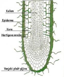 Ektomikoriza paulovnija korijen