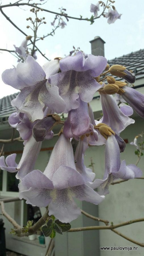 Cvijet paulovnije